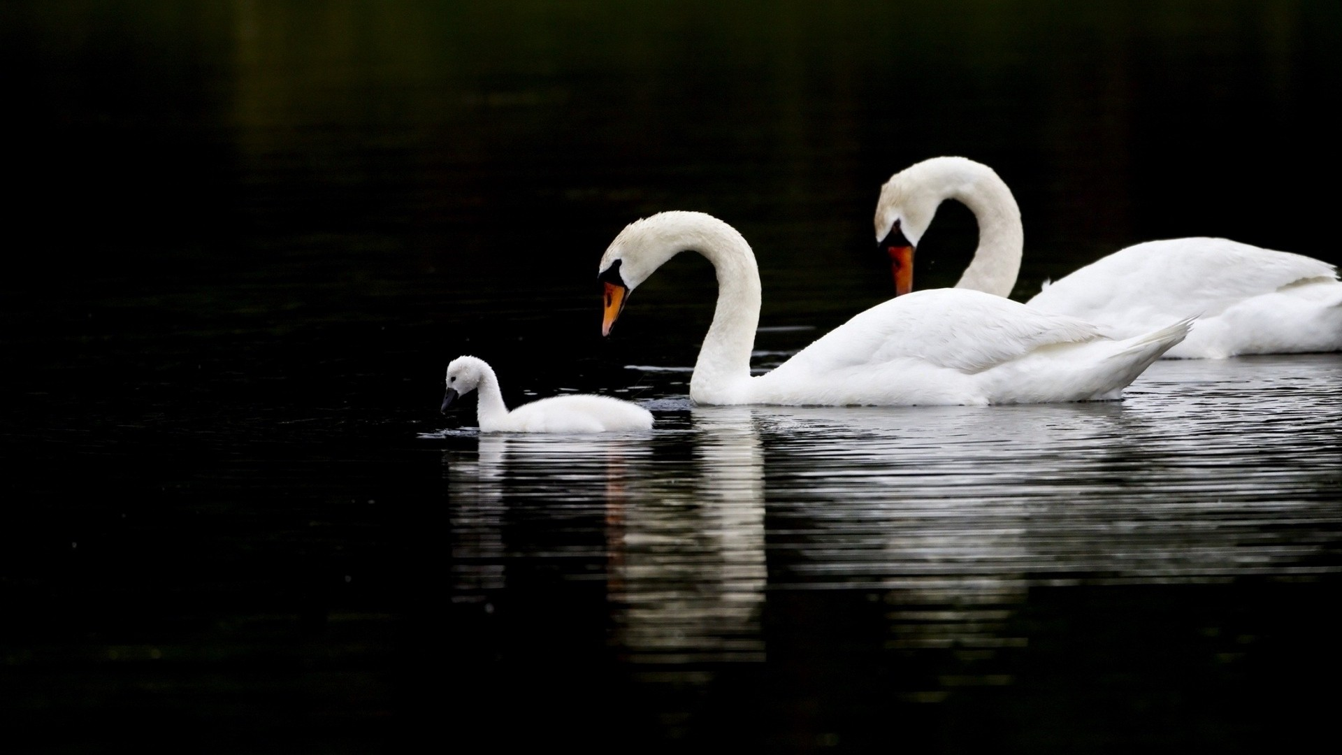 Swan desktop wallpaper download