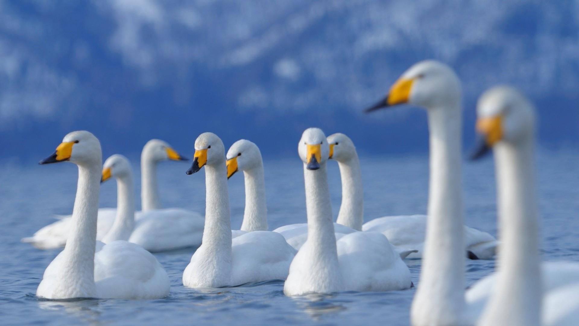 Swan Wallpaper Picture