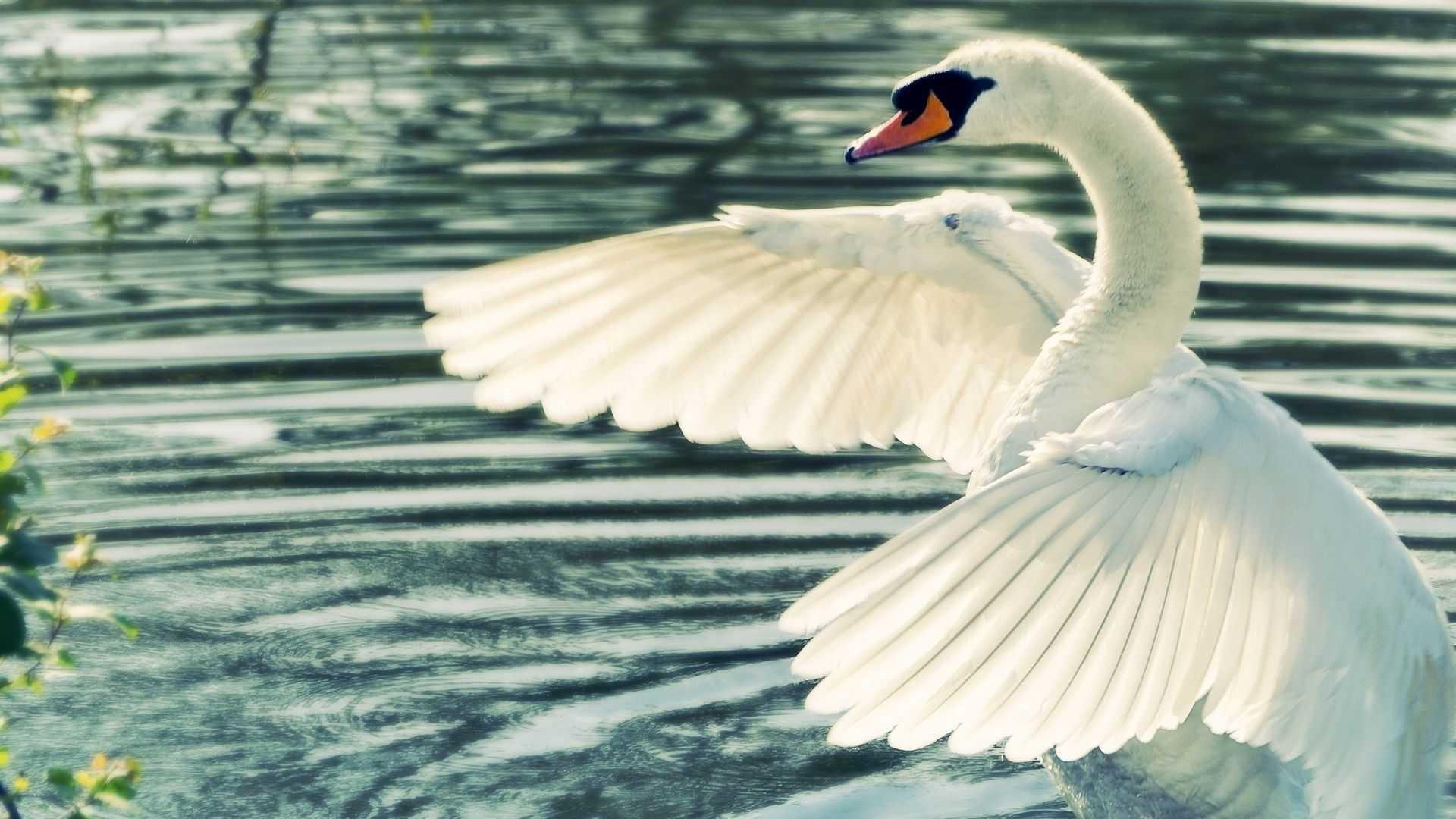 Swan PC Wallpaper