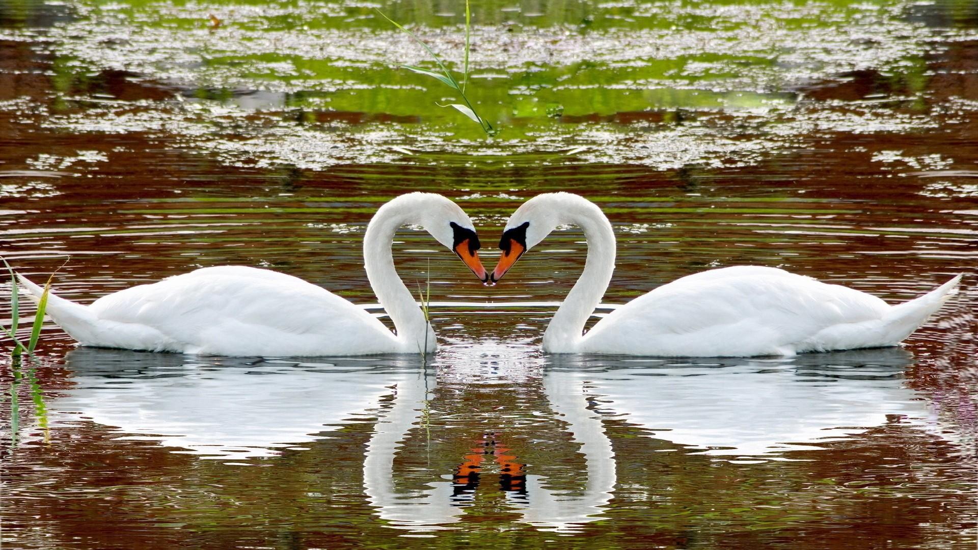 Swan Desktop Wallpaper