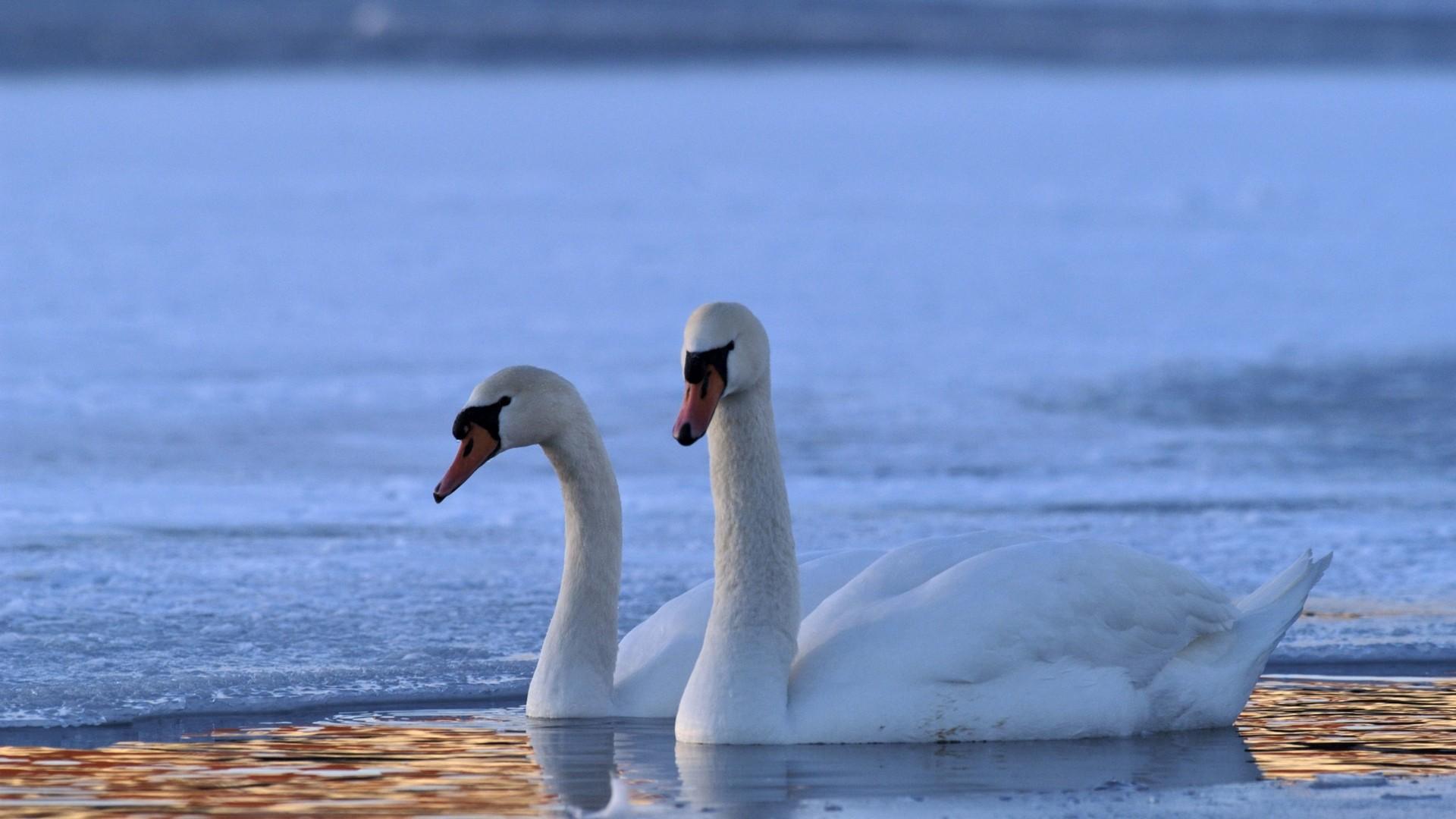 Swan wallpaper image hd