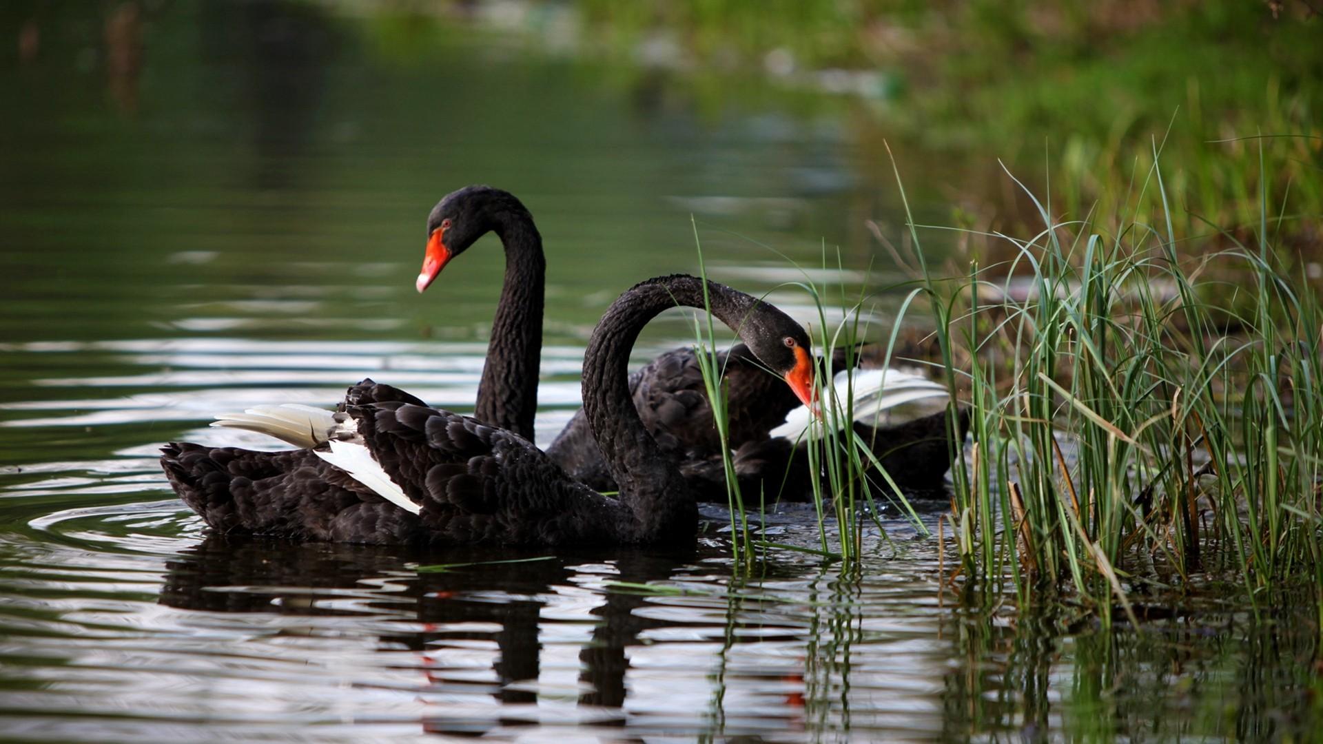 Swan Full HD Wallpaper