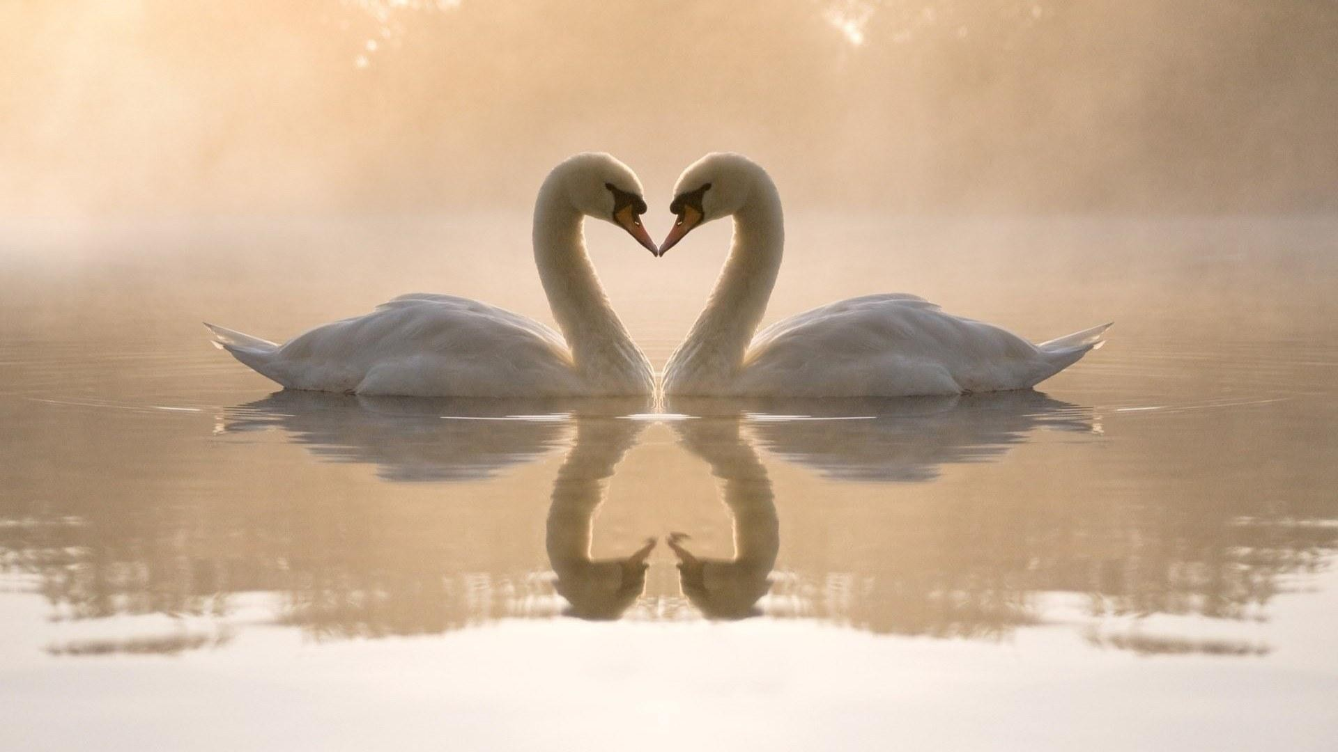 Swan screen wallpaper