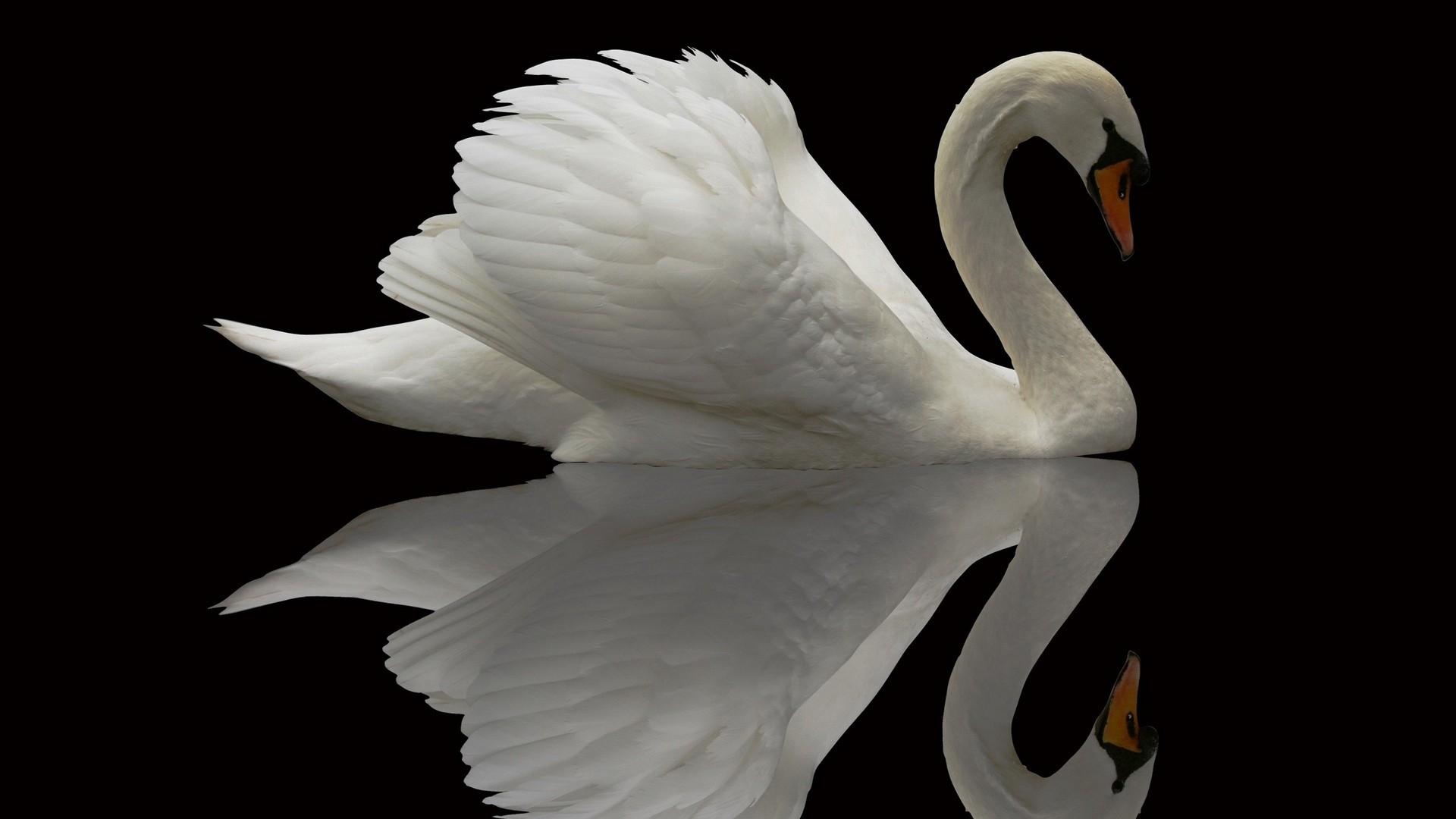 Swan wallpaper image