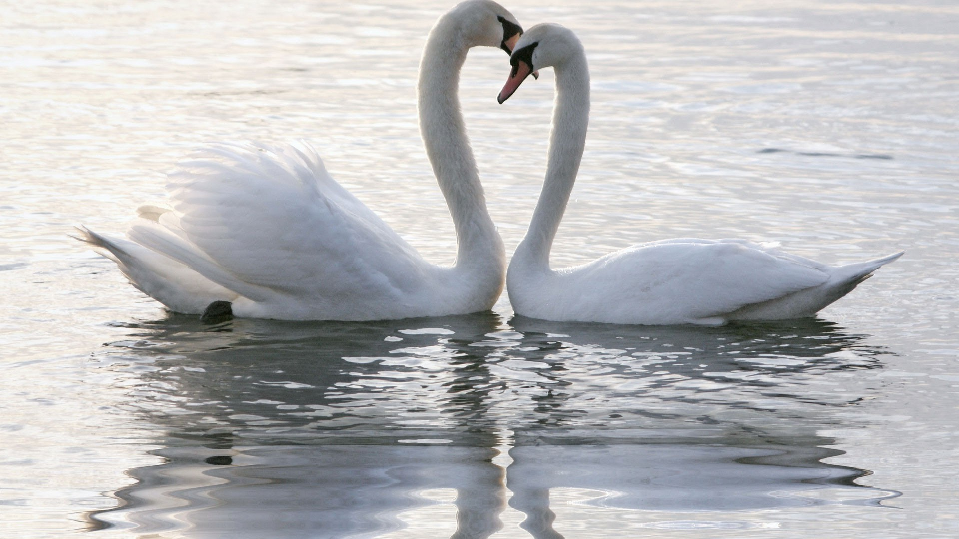 Swan hd wallpaper download