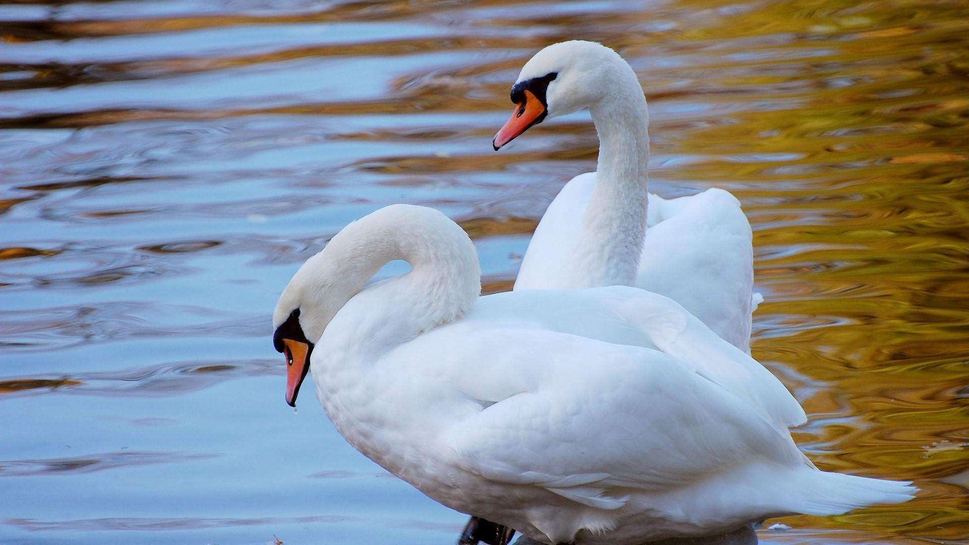 Swan free hd wallpaper
