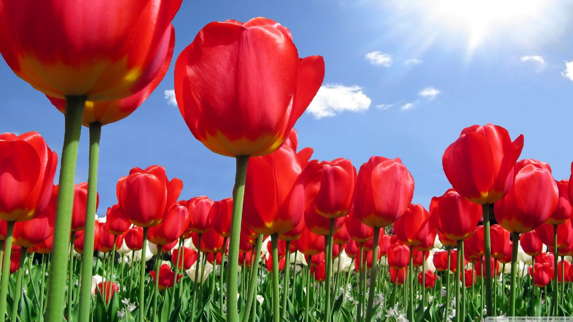Women's Day Flower free download wallpaper