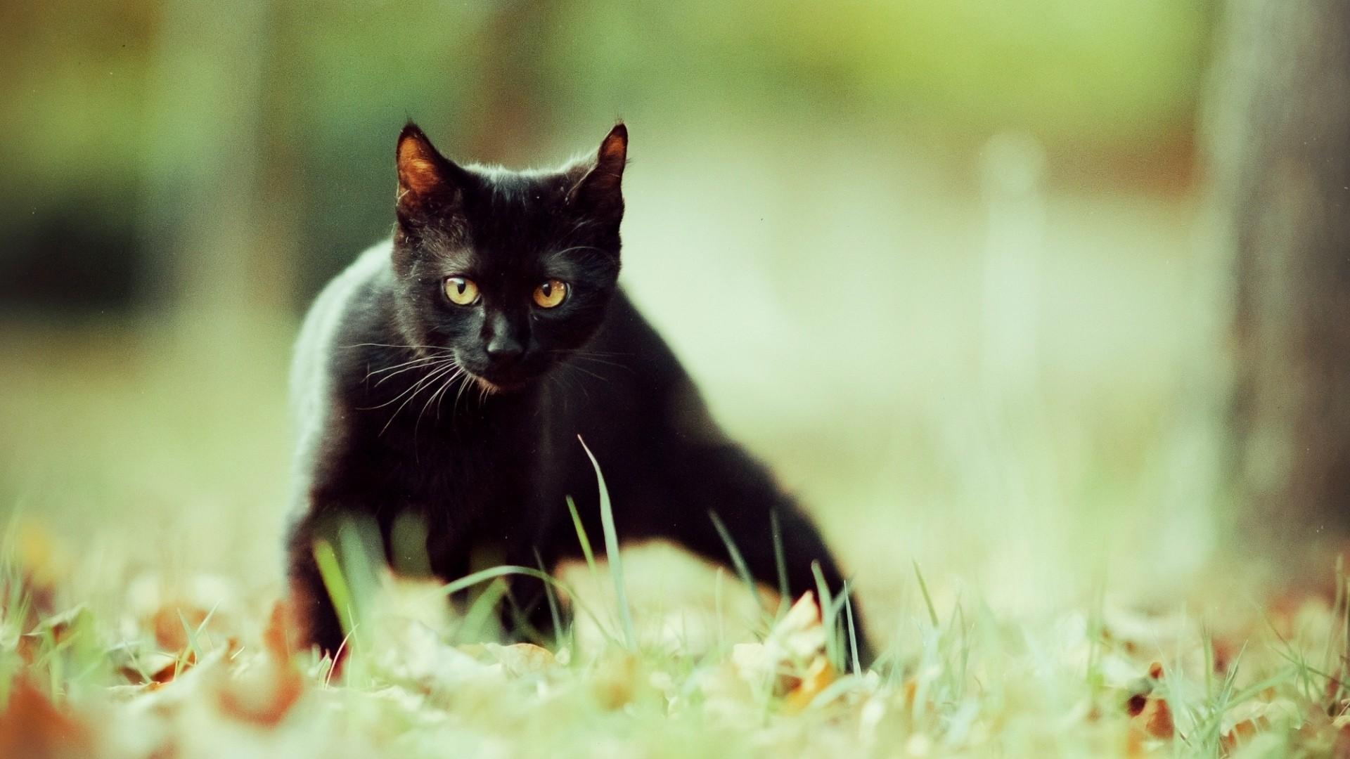 Black Cat hd desktop
