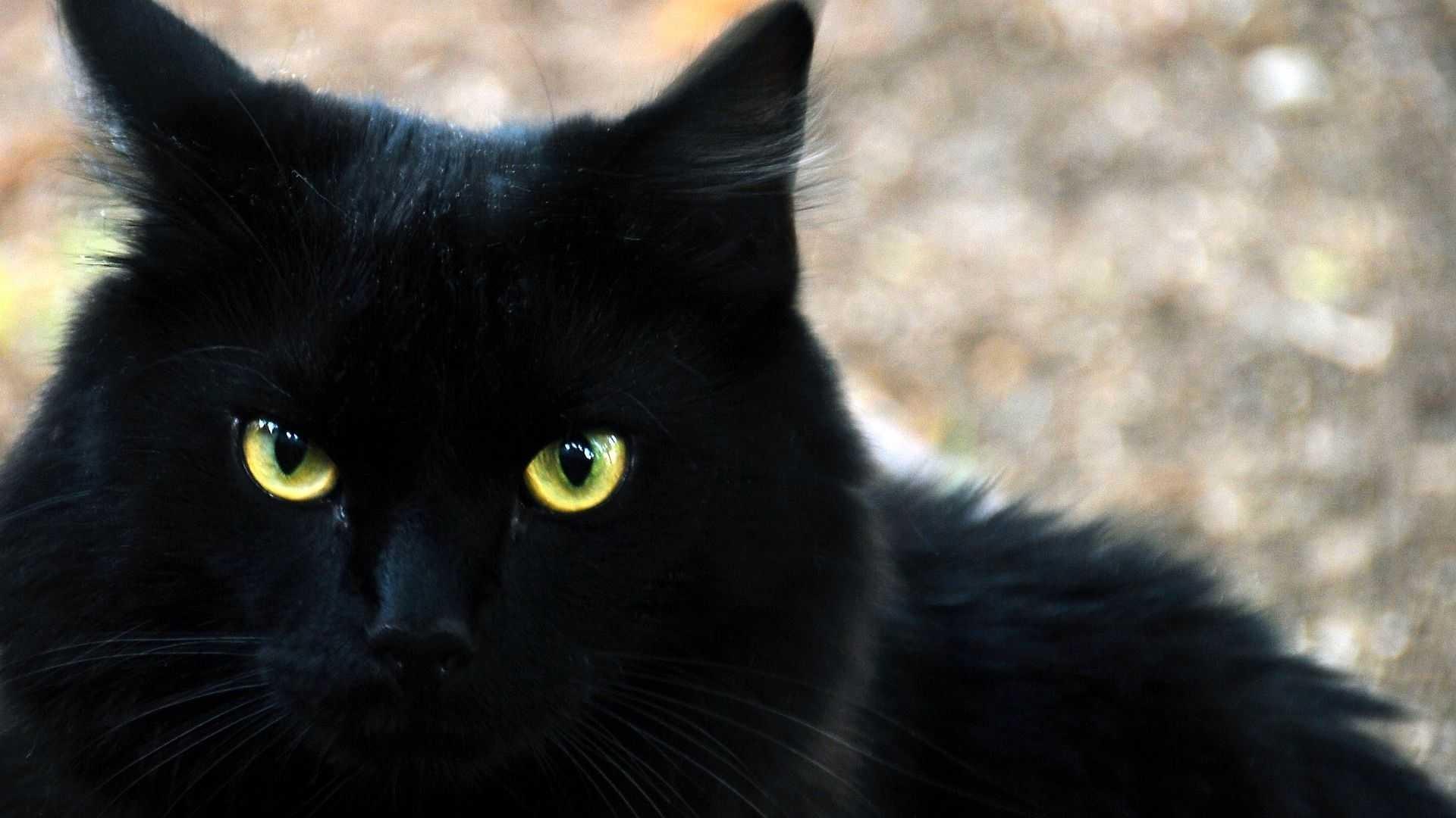 Black Cat hd picture