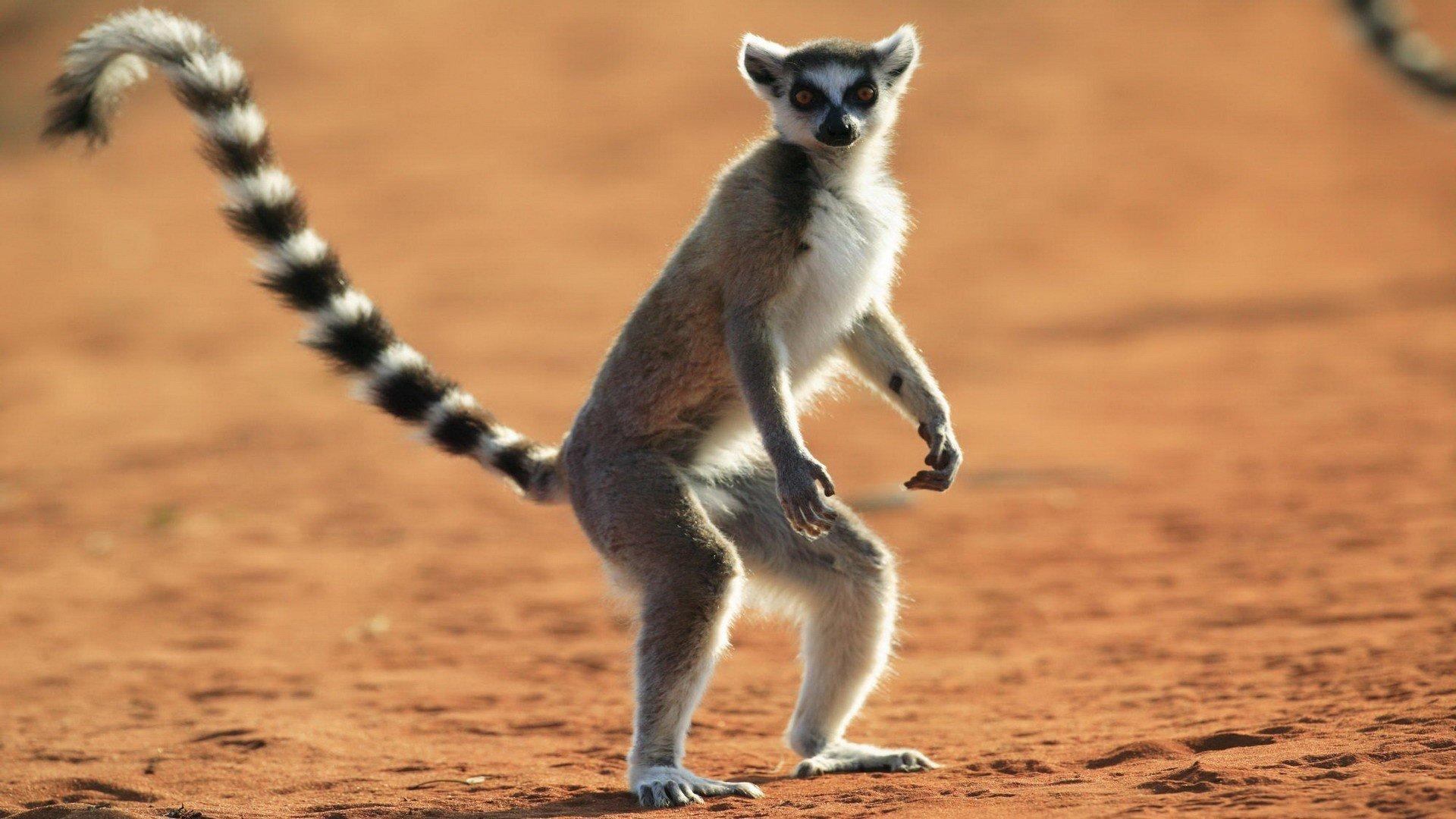 Lemur wallpaper photo