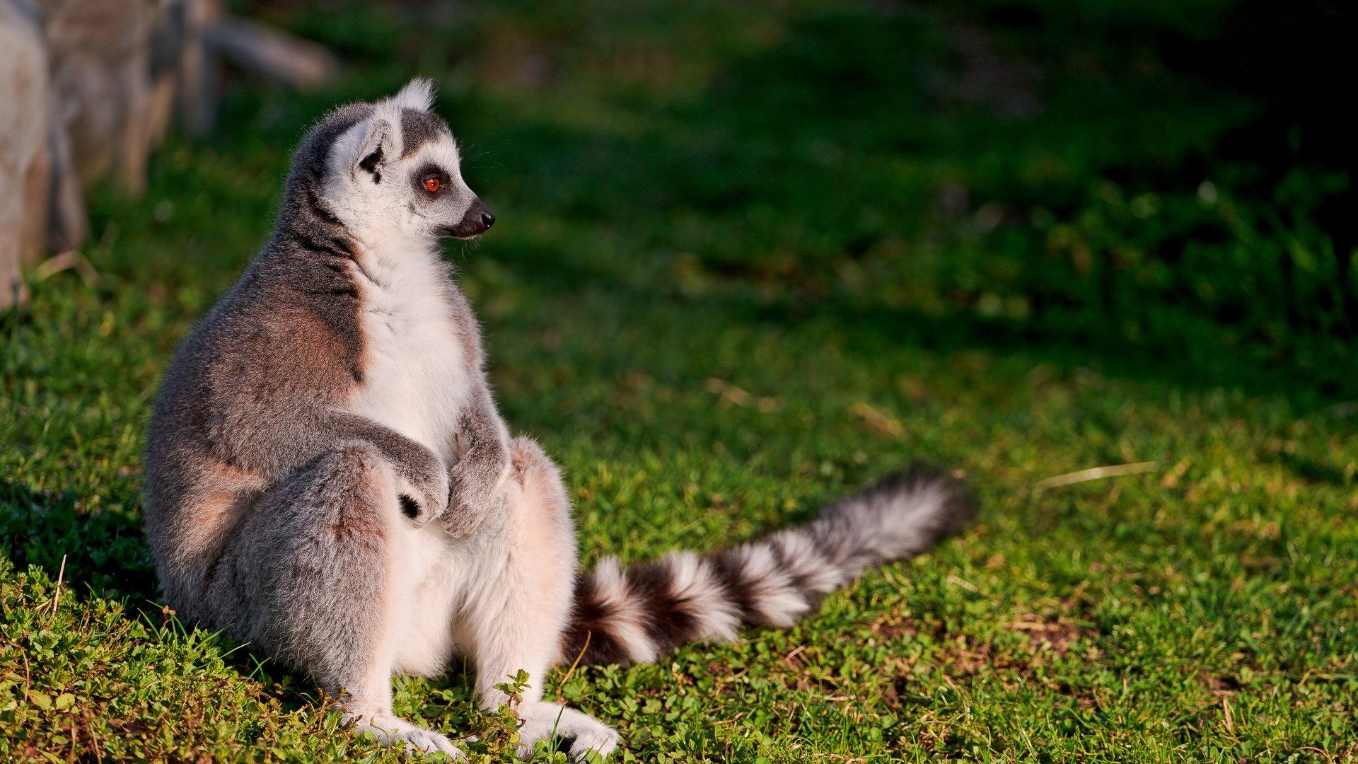 Lemur pc wallpaper