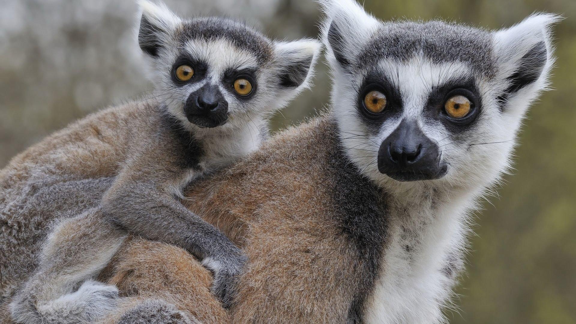 Lemur Free Wallpaper