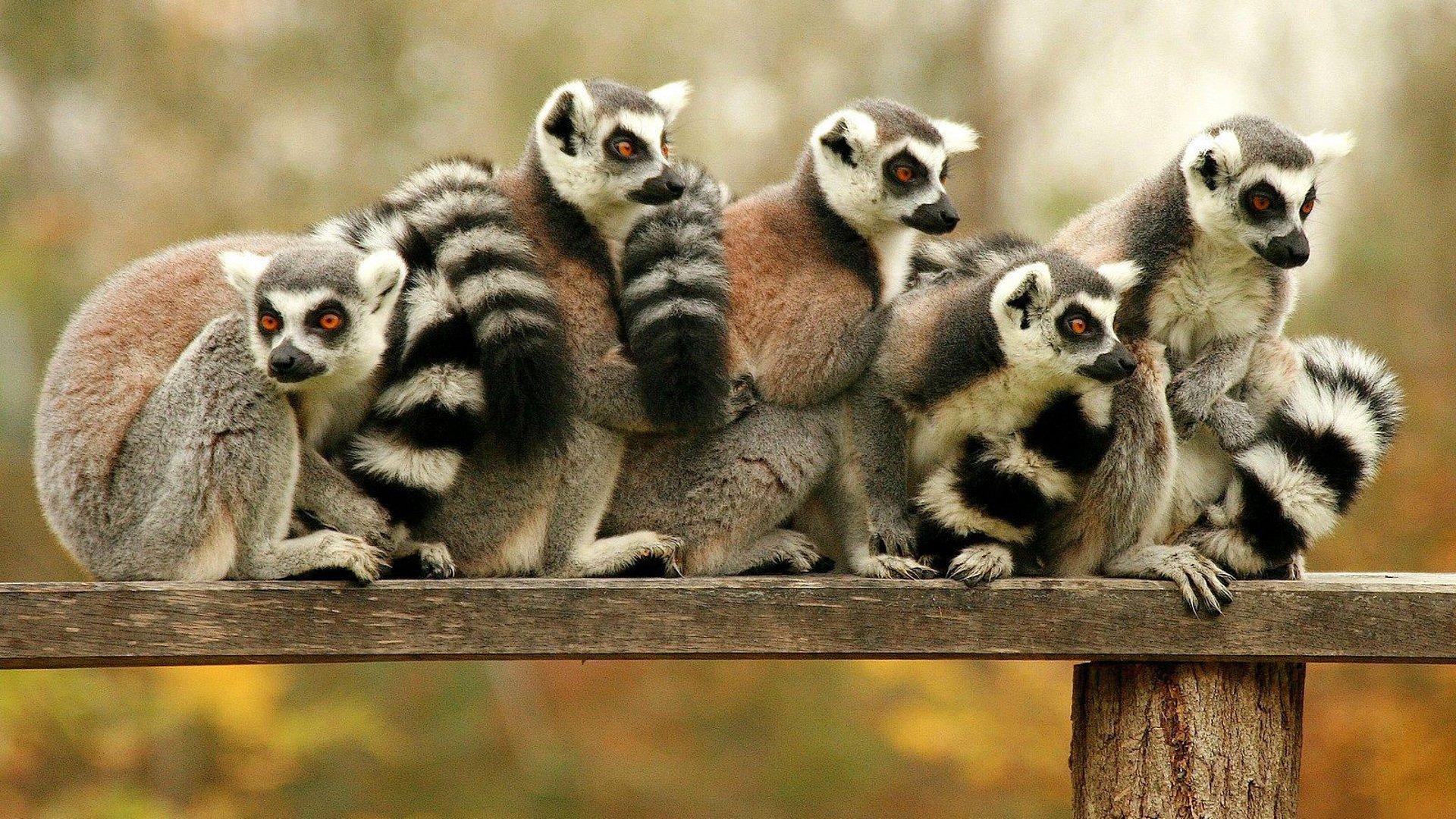 Lemur full hd wallpaper