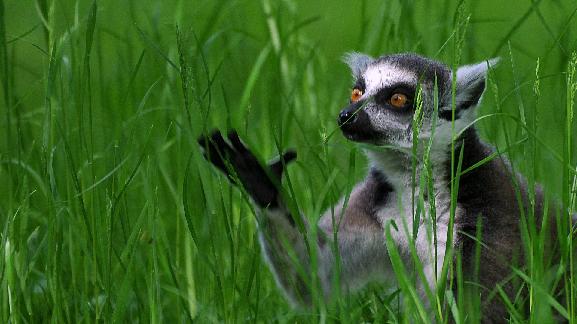 Lemur PC Wallpaper HD