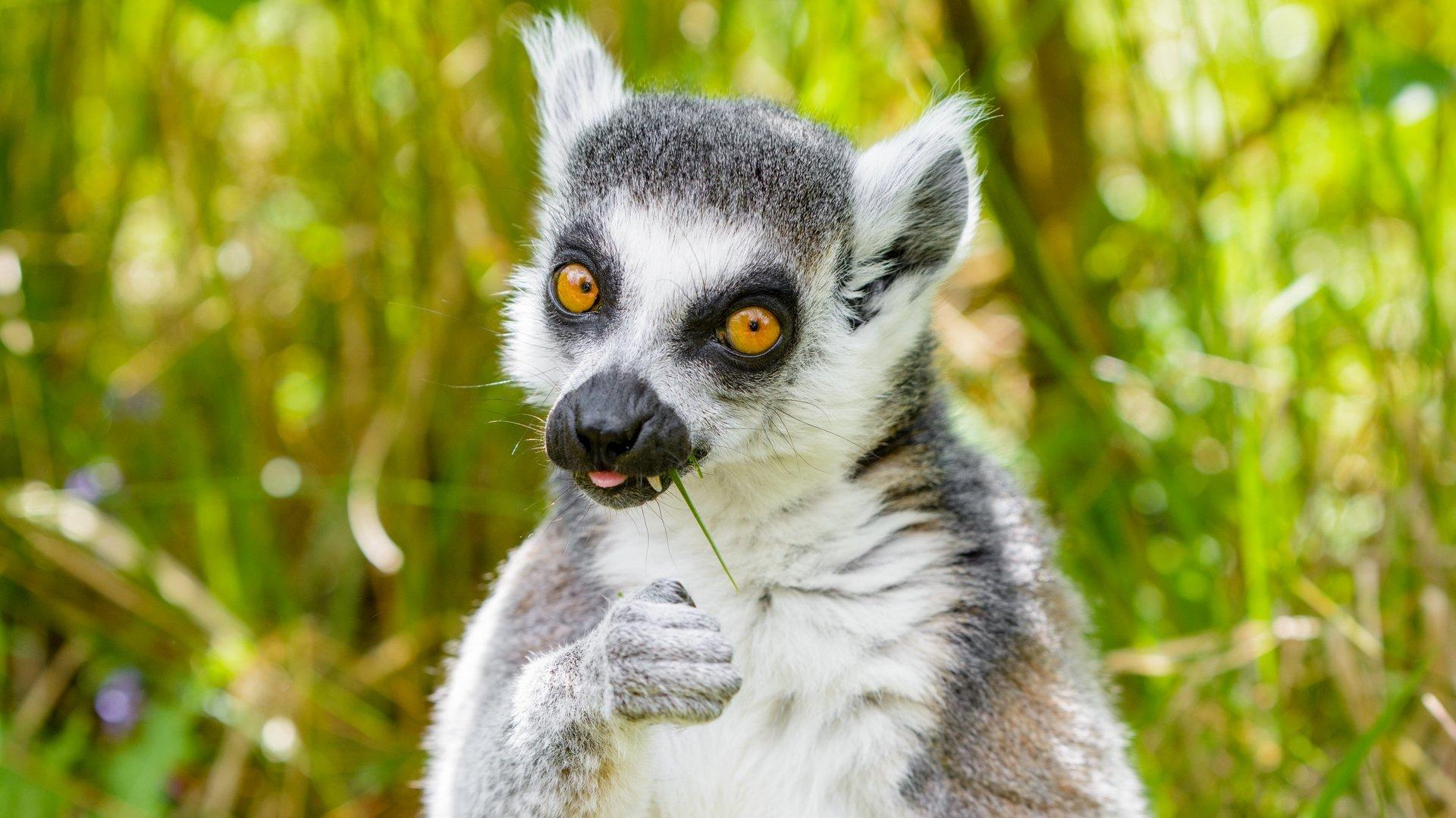 Lemur HD Desktop Wallpaper