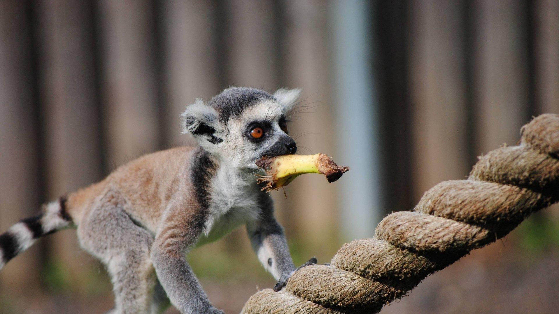 Lemur Background Wallpaper