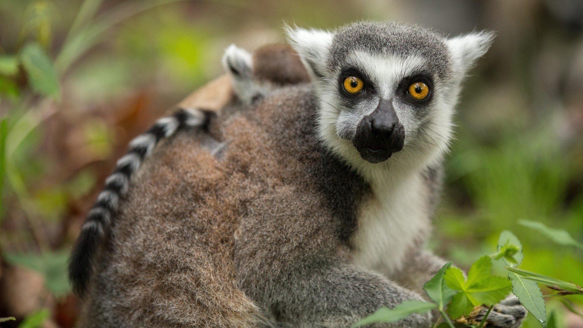 Lemur 1080p Wallpaper