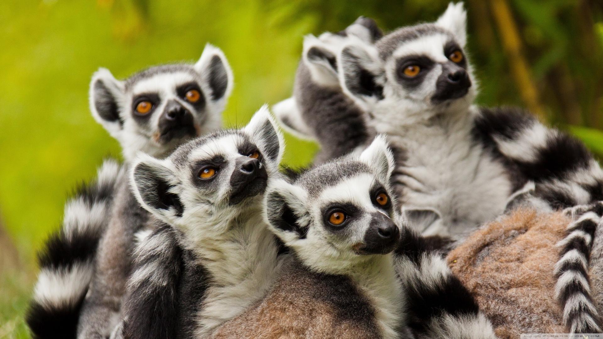 Lemur full screen hd wallpaper