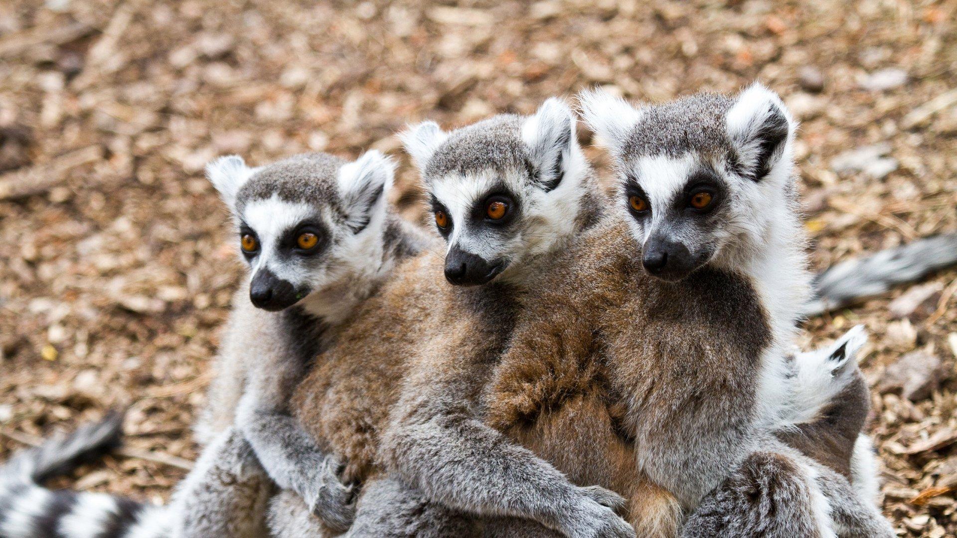 Lemur wallpaper download