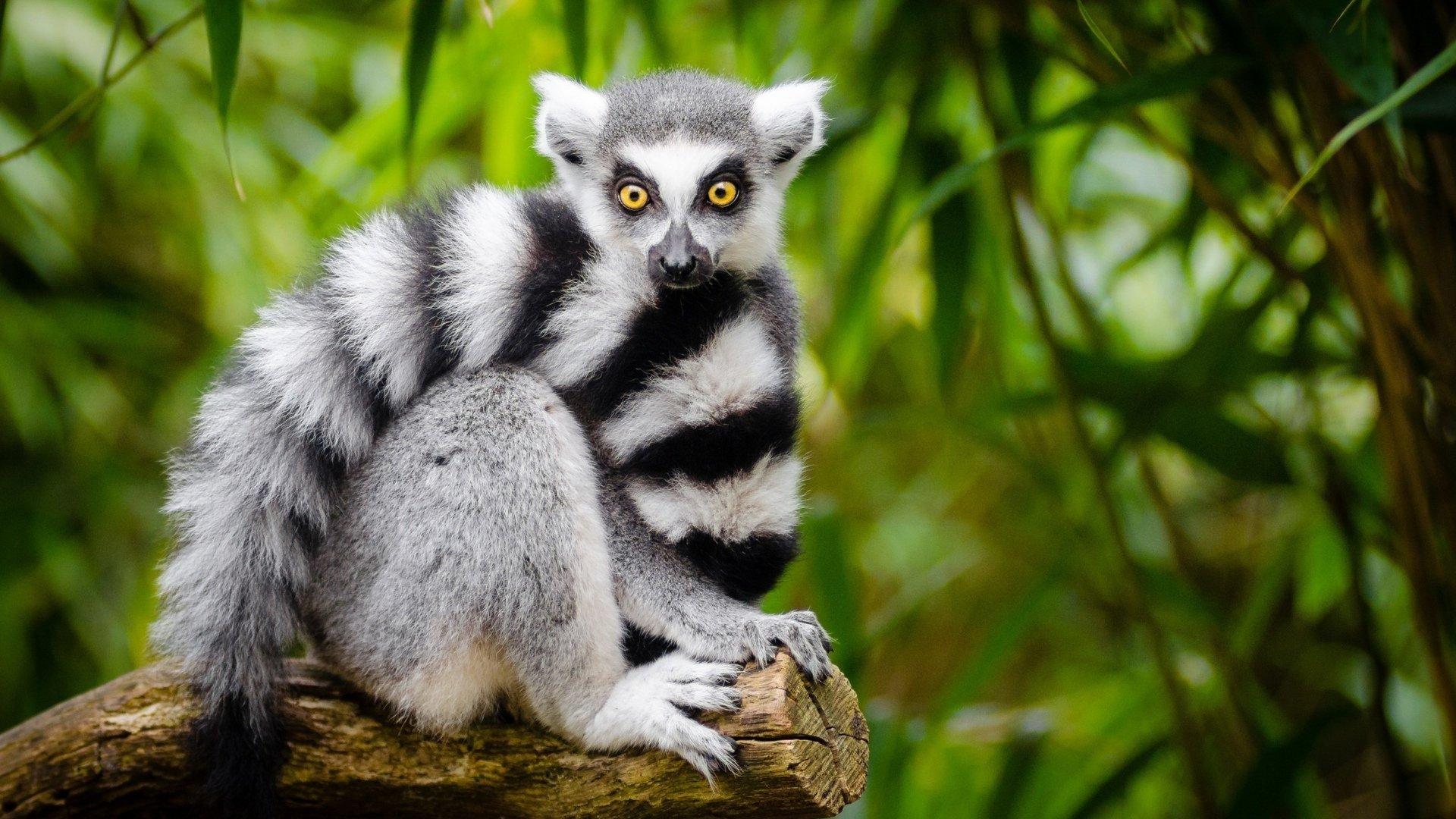 Lemur Wallpaper Image