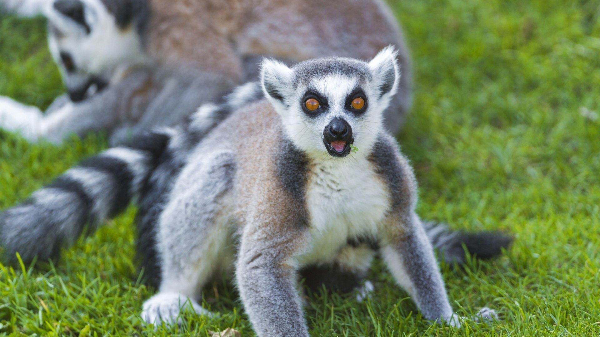 Lemur hd wallpaper 1080