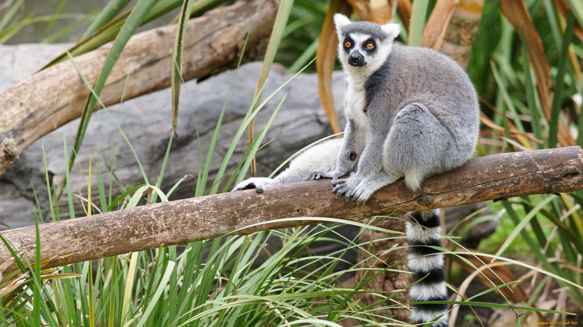 Lemur wallpaper picture hd