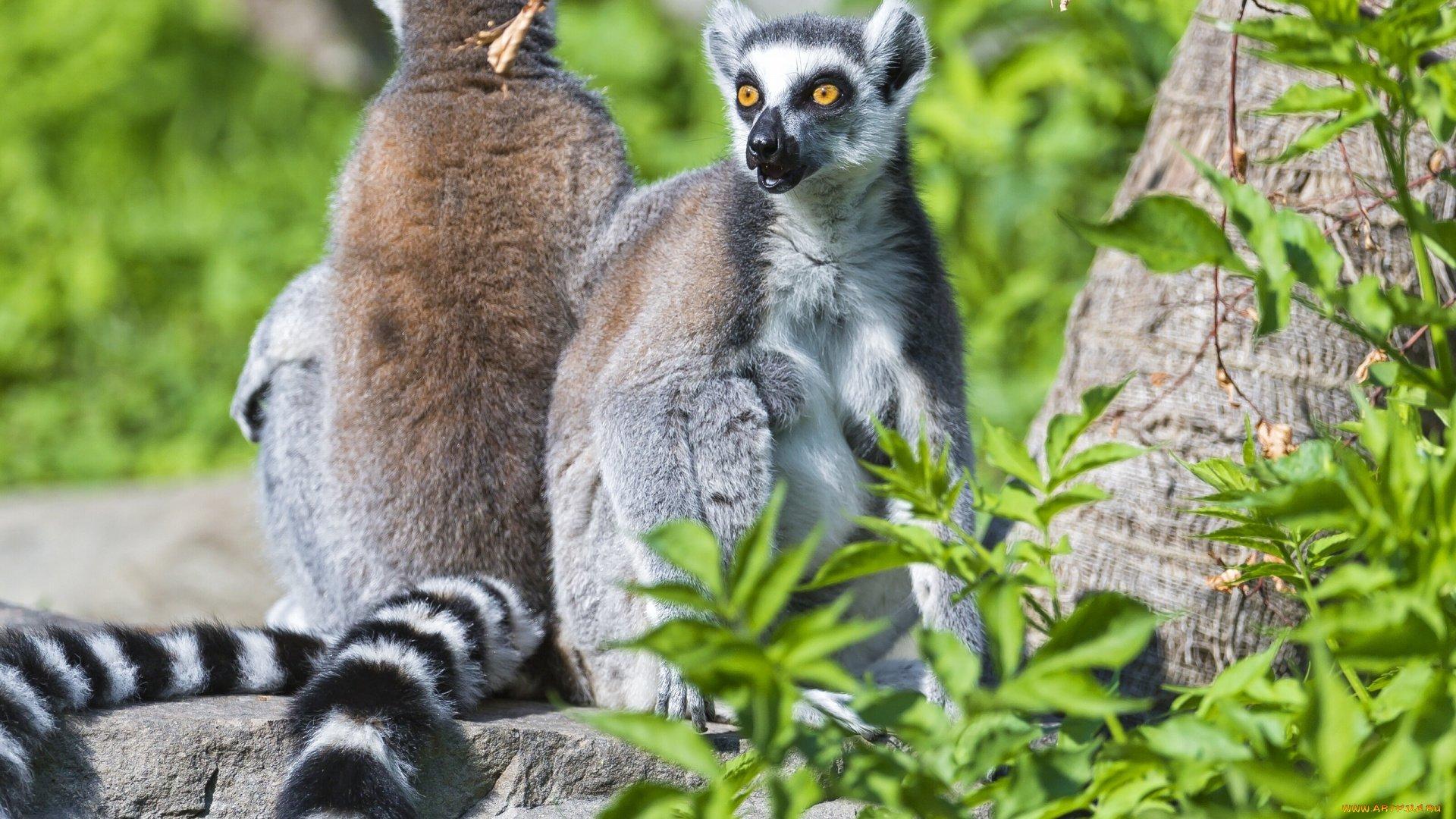Lemur Download Wallpaper