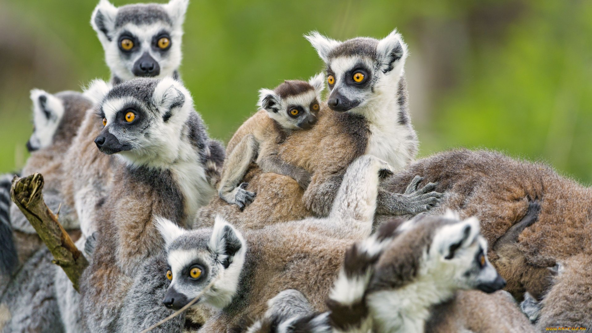 Lemur hd wallpaper download