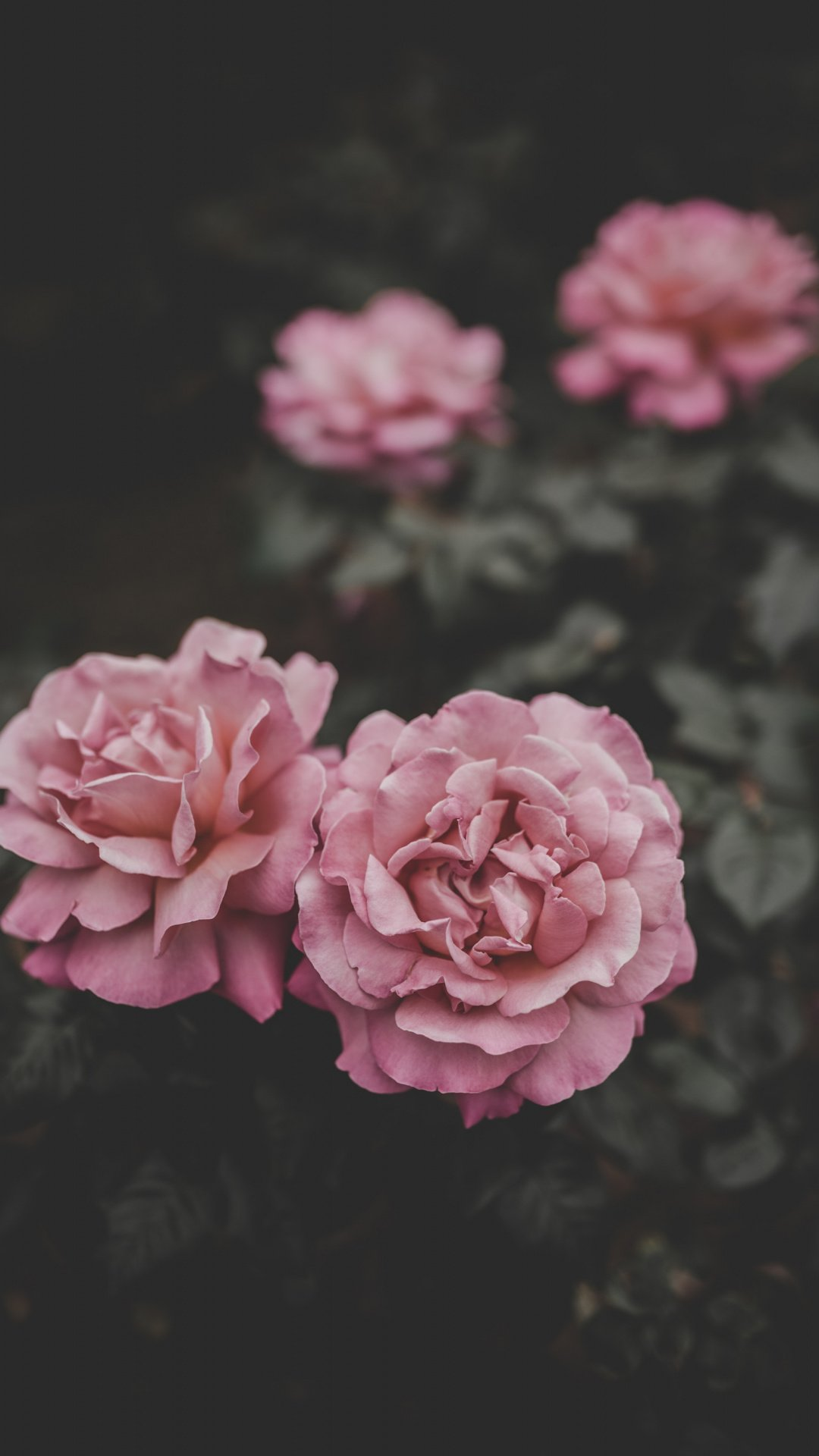 Peony cool wallpapers for iPhone 6