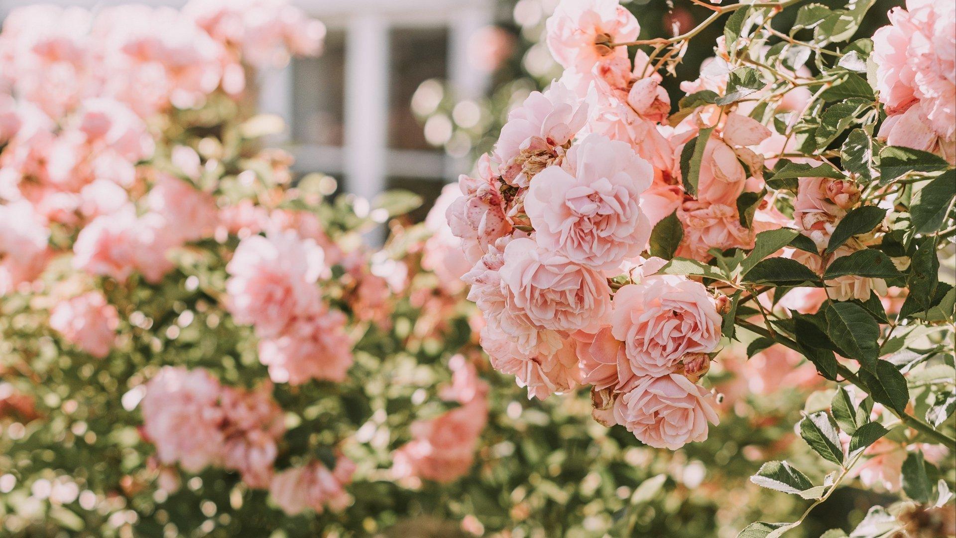 Aesthetic Rose Wallpaper 1920x1080