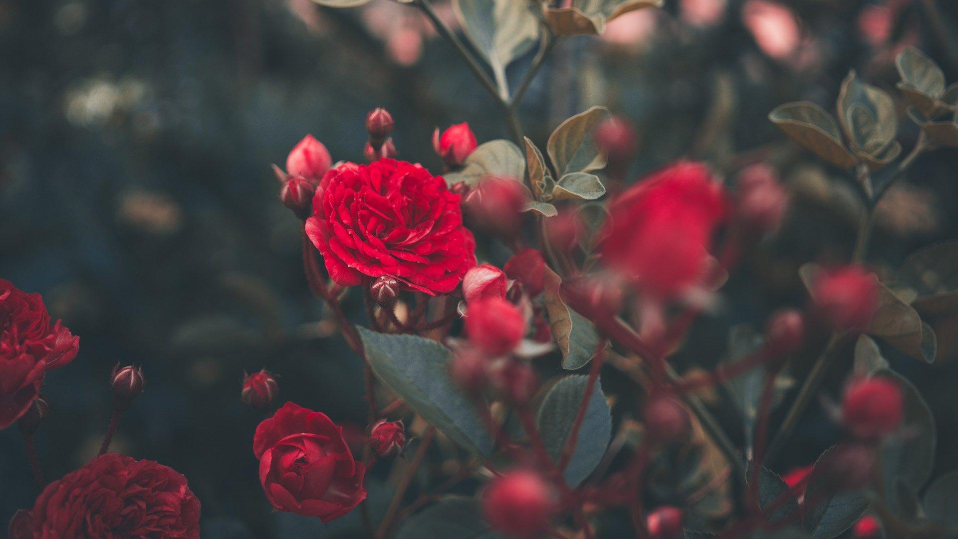 Aesthetic Rose Wallpaper