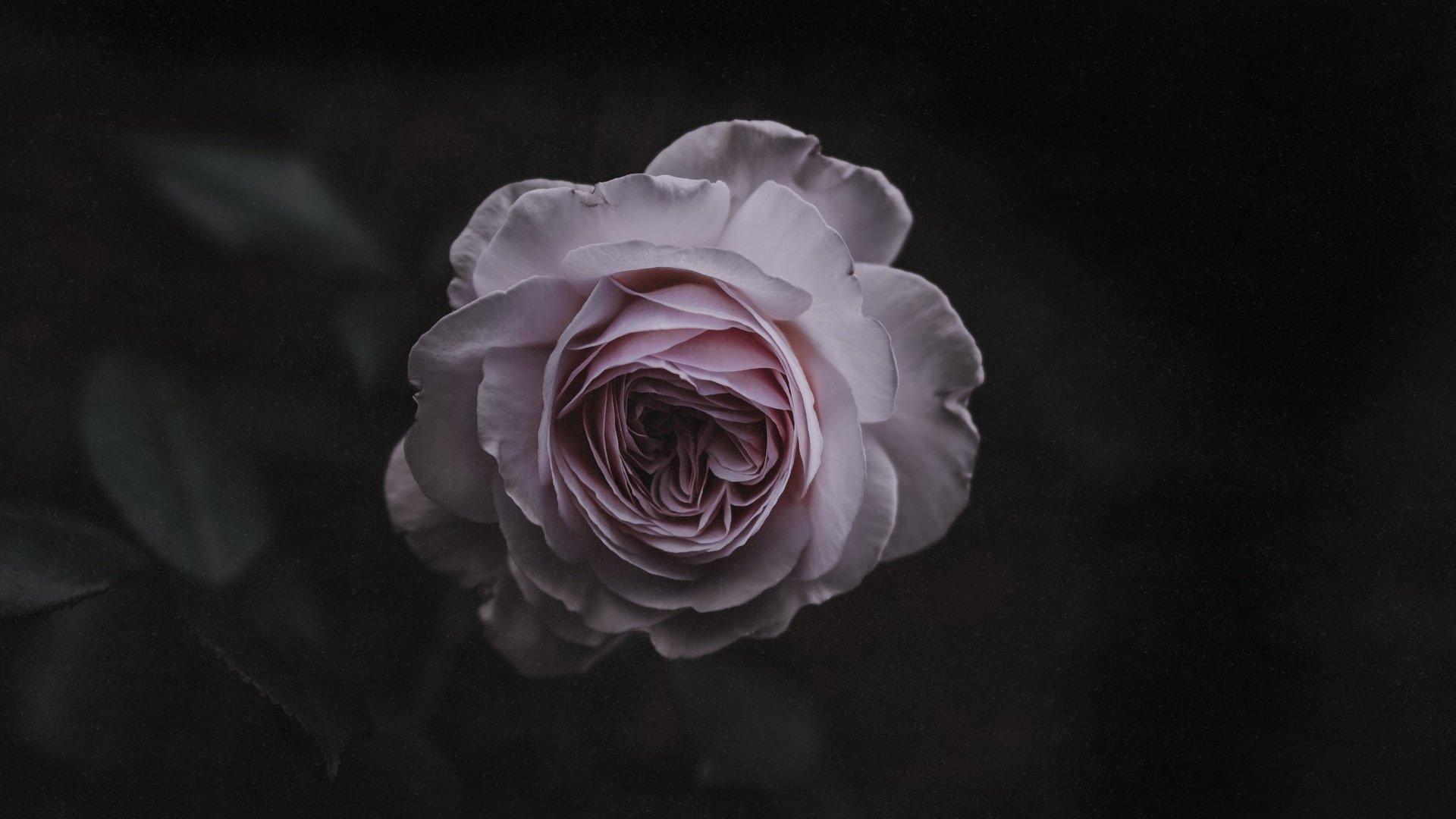 Aesthetic Rose Wallpaper Desktop