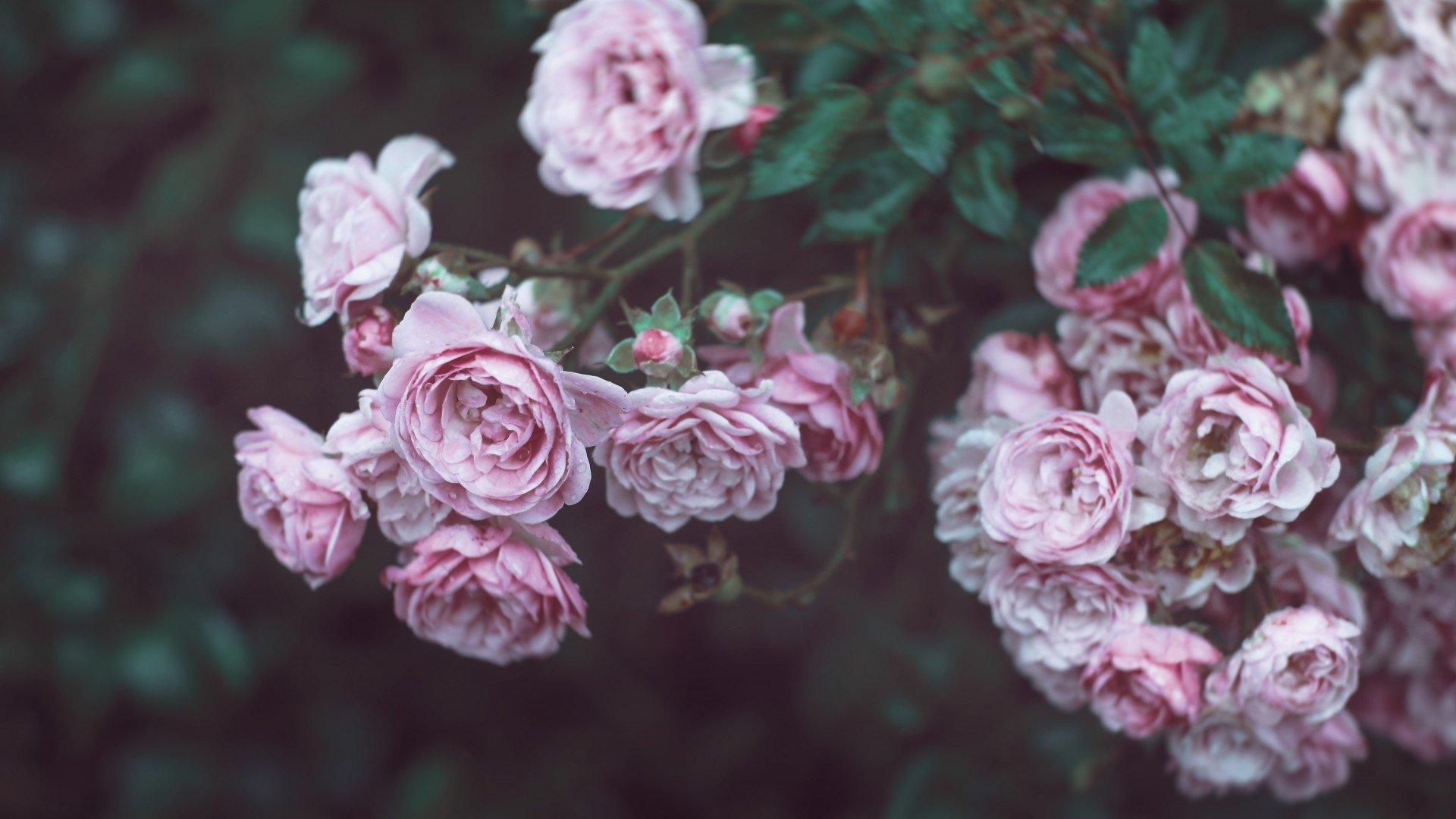 Aesthetic Rose Wallpaper Download Full