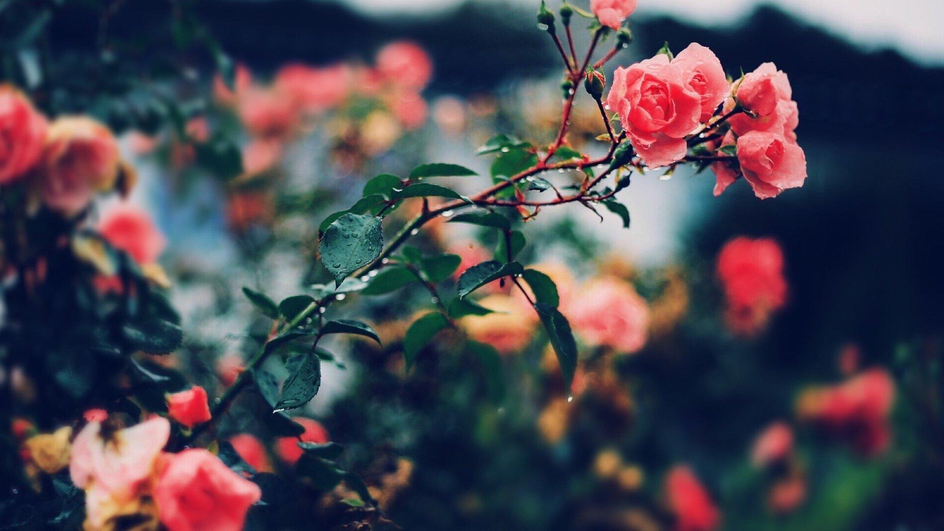 Aesthetic Rose Wallpaper Download