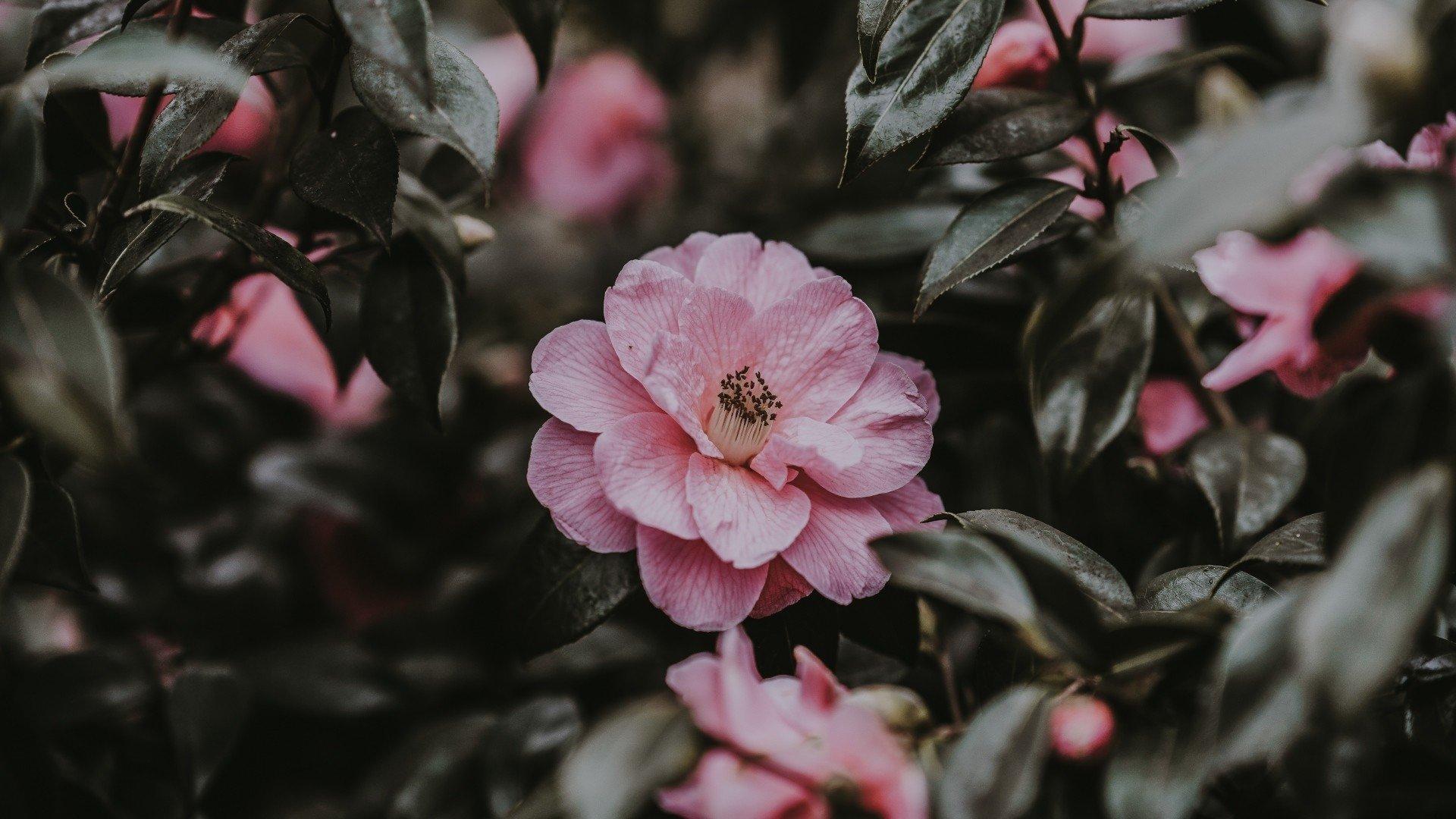 Aesthetic Rose Wallpaper Free Download