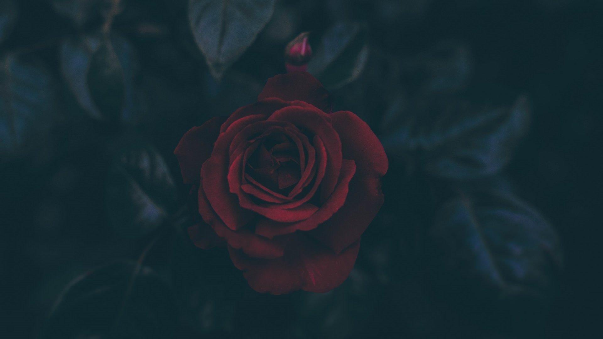 Aesthetic Rose Wallpaper Free
