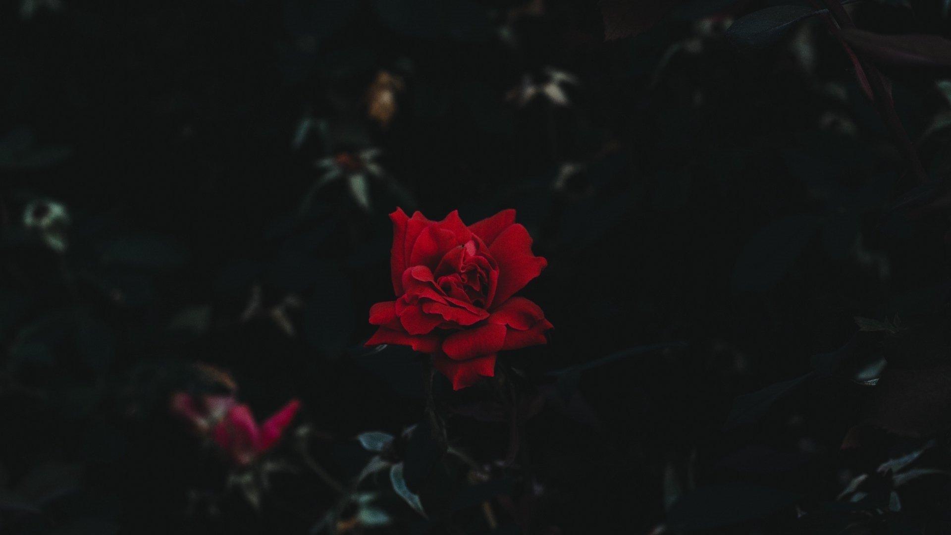 Aesthetic Rose Wallpaper Full HD