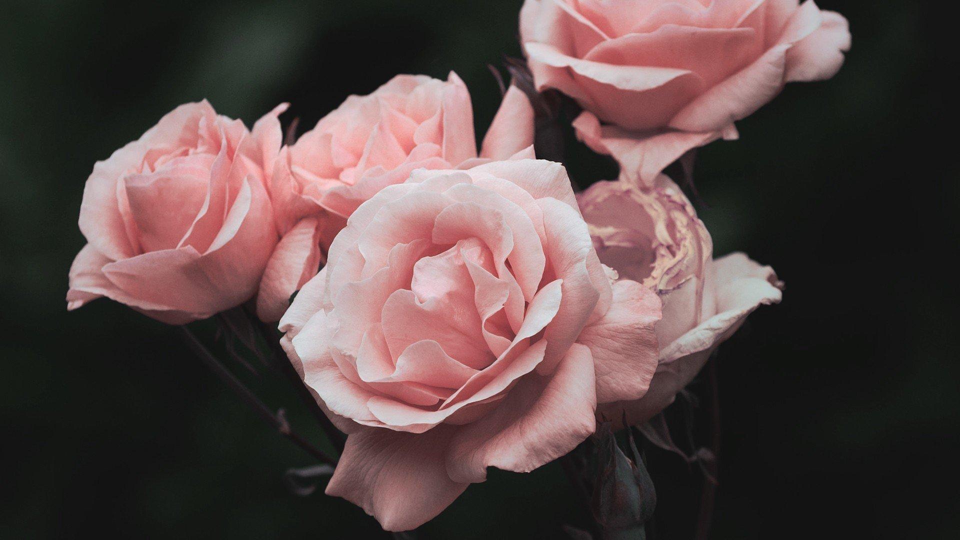 Aesthetic Rose Wallpaper Pic