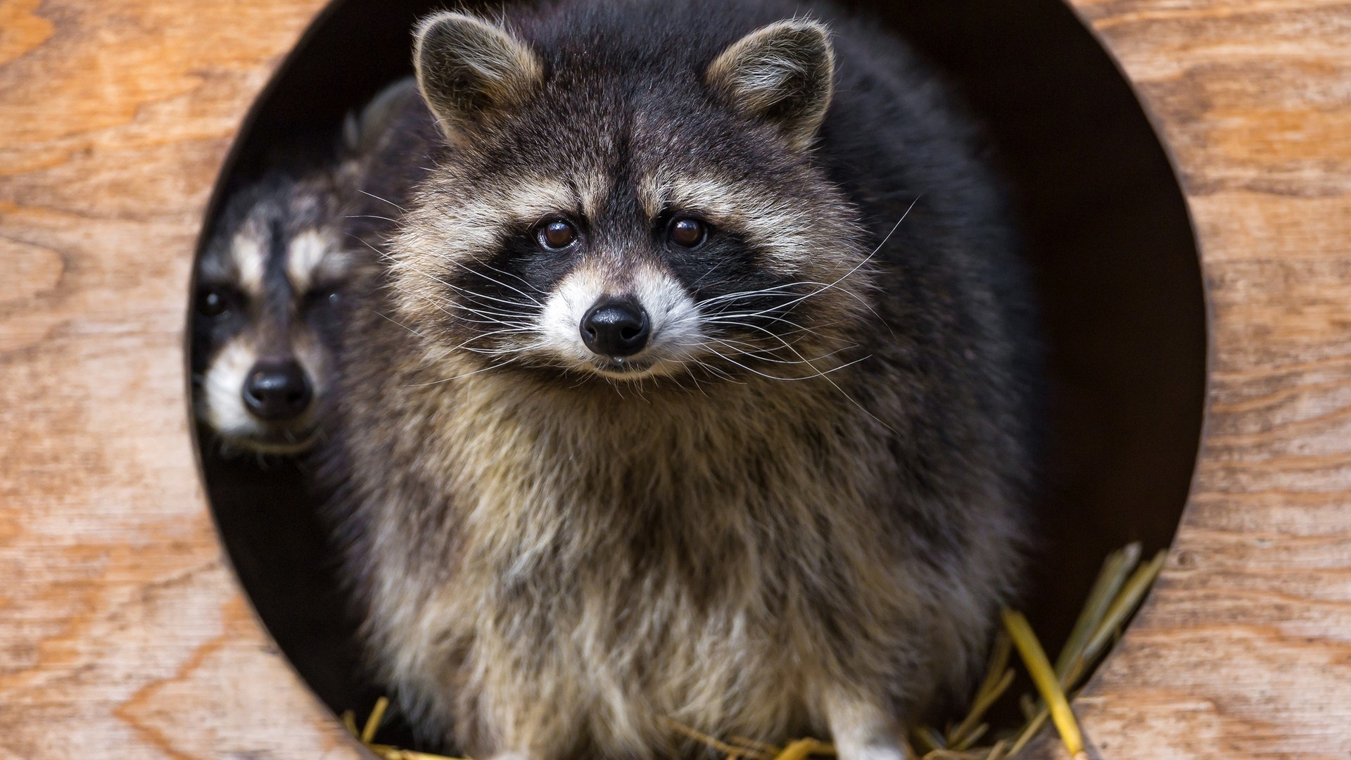 Funny Raccoon good wallpaper hd