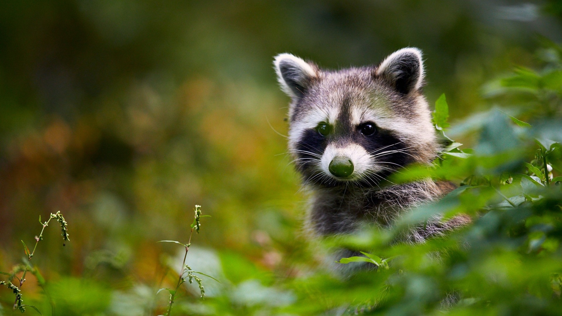 Funny Raccoon HD wallpaper