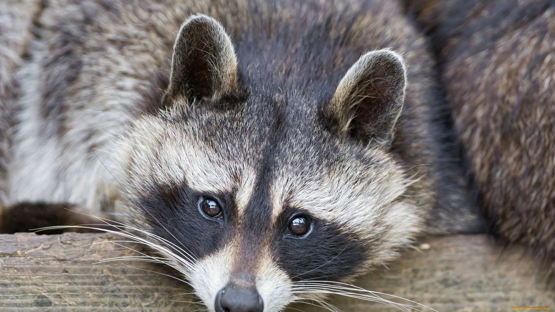 Funny Raccoon High Definition