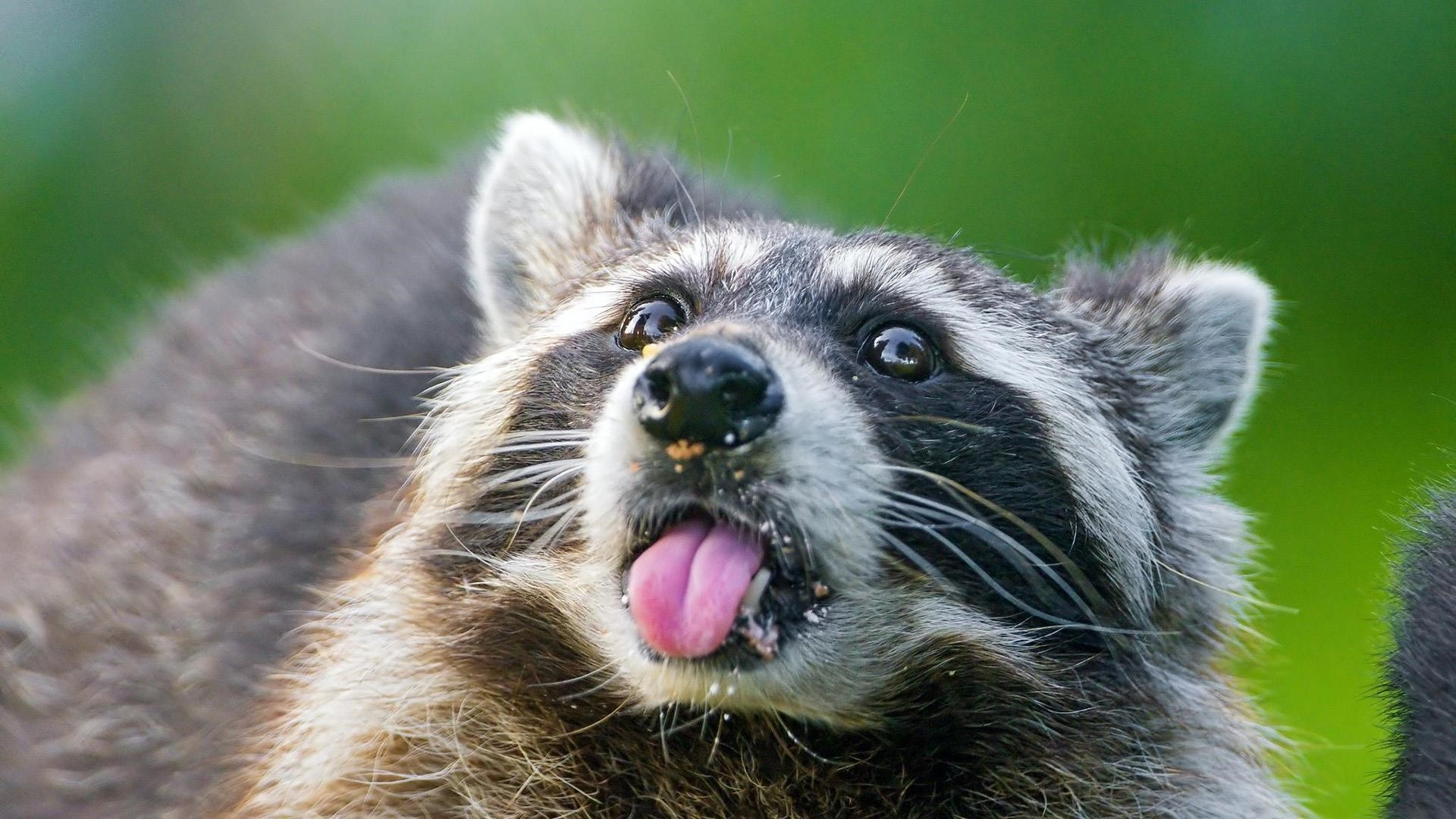 Funny Raccoon HD Desktop Wallpaper