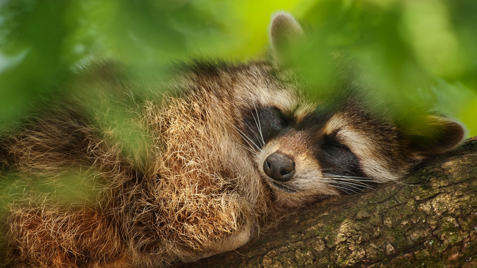 Funny Raccoon beautiful wallpaper