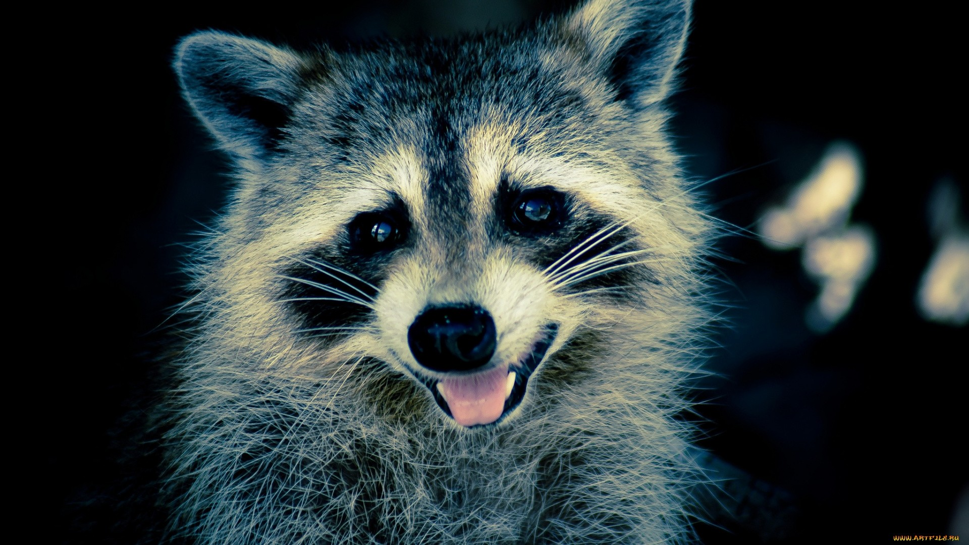 Funny Raccoon computer Wallpaper