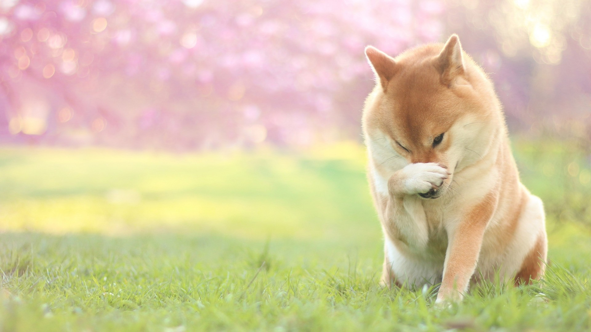 Shiba Inu Wallpaper Download