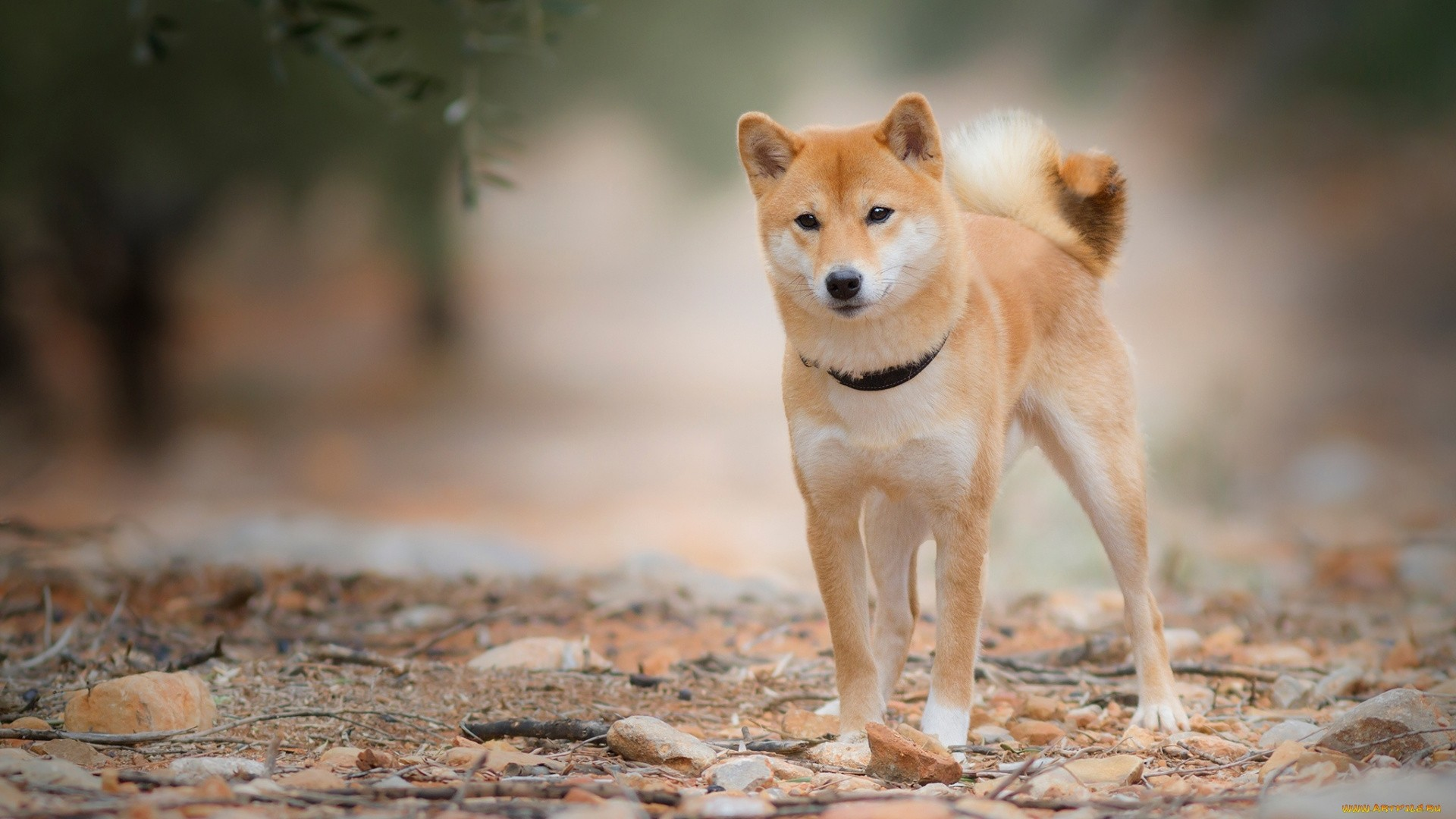 Shiba Inu Wallpaper Download Full