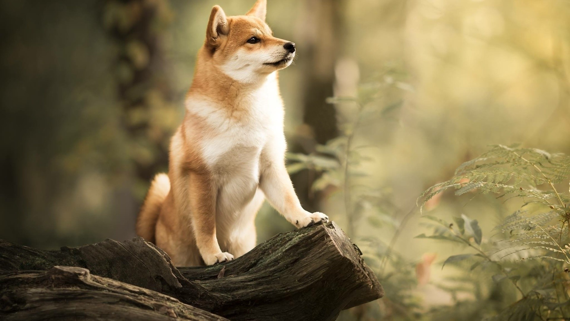 Shiba Inu Wallpaper For Pc