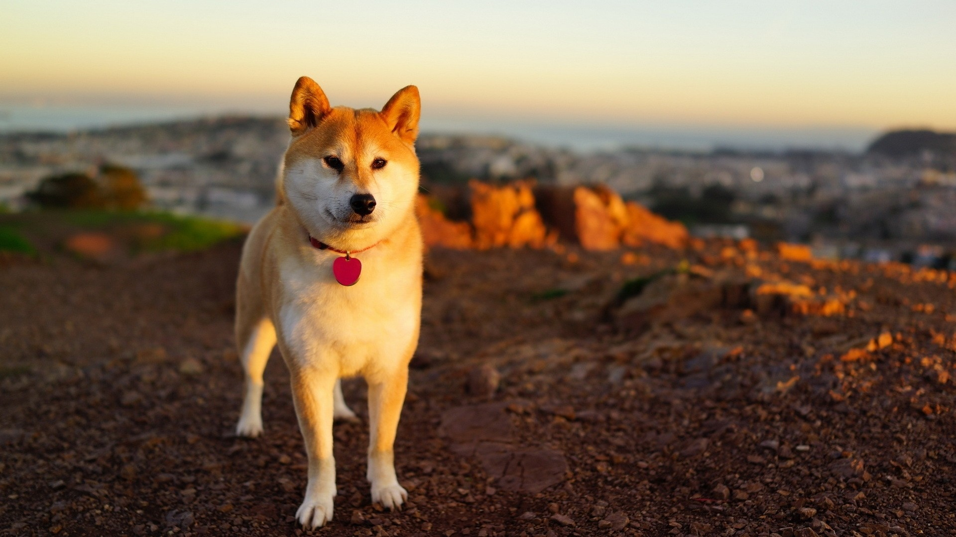 Shiba Inu Wallpaper Free Download