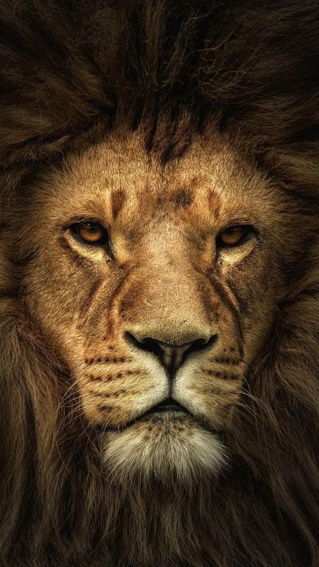 Lion iPhone hd wallpaper