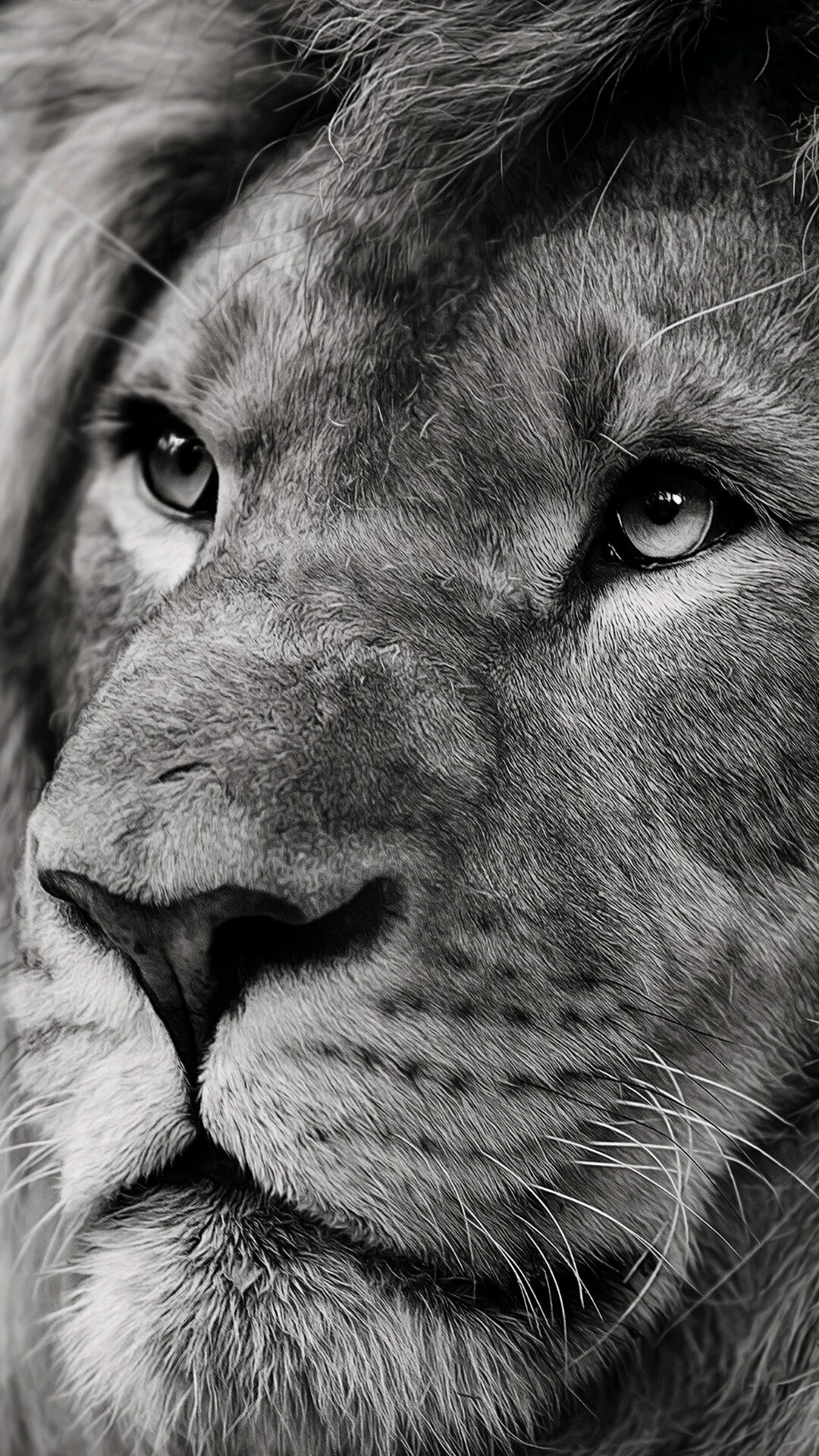 Lion iPhone 7 wallpaper
